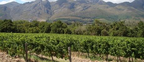 Vineyard in Languedoc